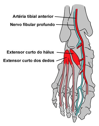 dor no dorso do pé ossos estrutura